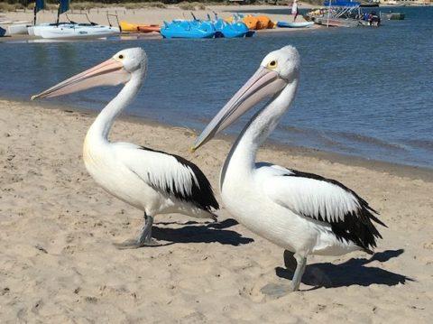 Pelican Feeding, Kalbarri