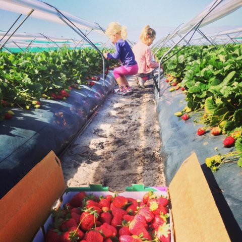 Bullsbrook Strawberry Farm, Strawberry Picking Perth