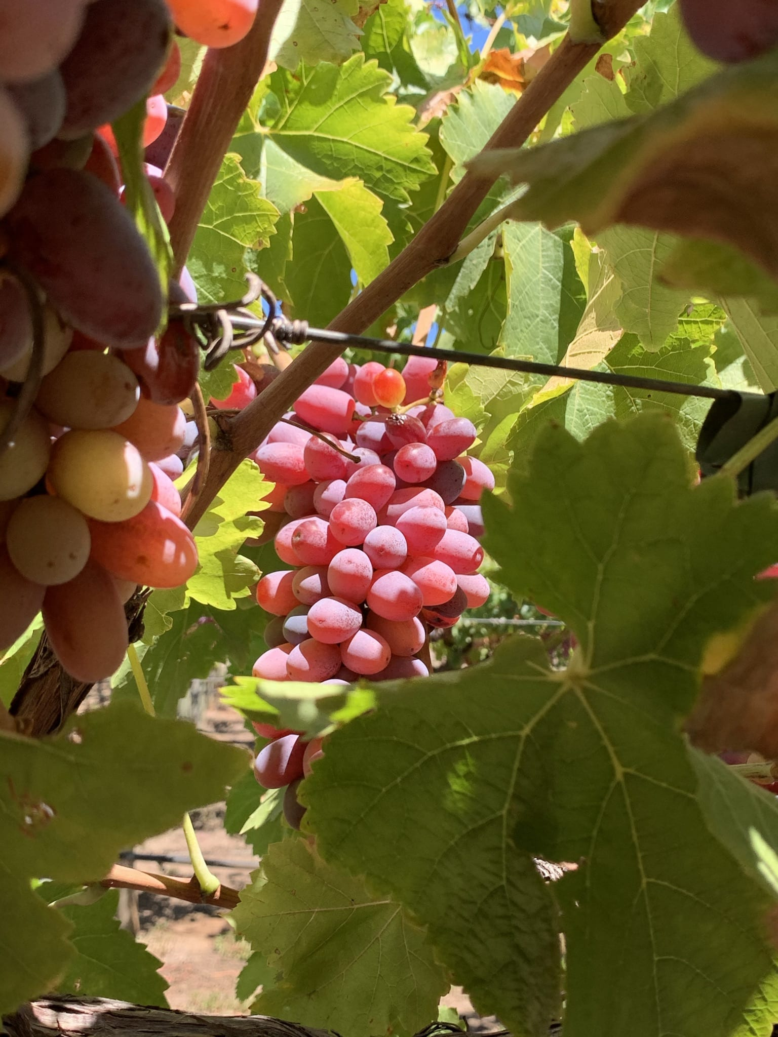 Grapes On Swan