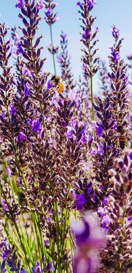 Yanchep Lavender, Carabooda